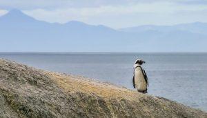 Встречайте пингвинов в Боулдерс-Бич, Саймон-Таун