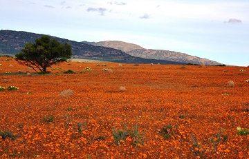 Смотрите за цветением полевых цветов в Намакуалэнд